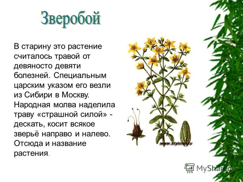 В старину это растение считалось травой от девяносто девяти болезней. Специальным царским указом его везли из Сибири в Москву. Народная молва наделила траву «страшной силой» - дескать, косит всякое зверьё направо и налево. Отсюда и название растения.