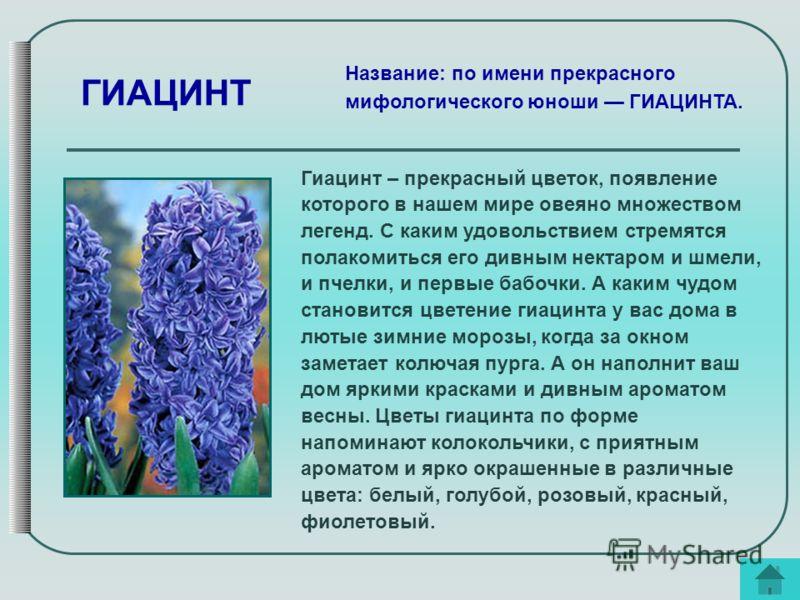 Гиацинт – прекрасный цветок, появление которого в нашем мире овеяно множеством легенд. С каким удовольствием стремятся полакомиться его дивным нектаром и шмели, и пчелки, и первые бабочки. А каким чудом становится цветение гиацинта у вас дома в лютые