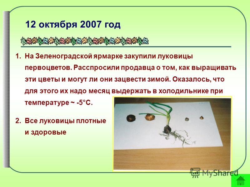 12 октября 2007 год 1.На Зеленоградской ярмарке закупили луковицы первоцветов. Расспросили продавца о том, как выращивать эти цветы и могут ли они зацвести зимой. Оказалось, что для этого их надо месяц выдержать в холодильнике при температуре ~ -5°С.