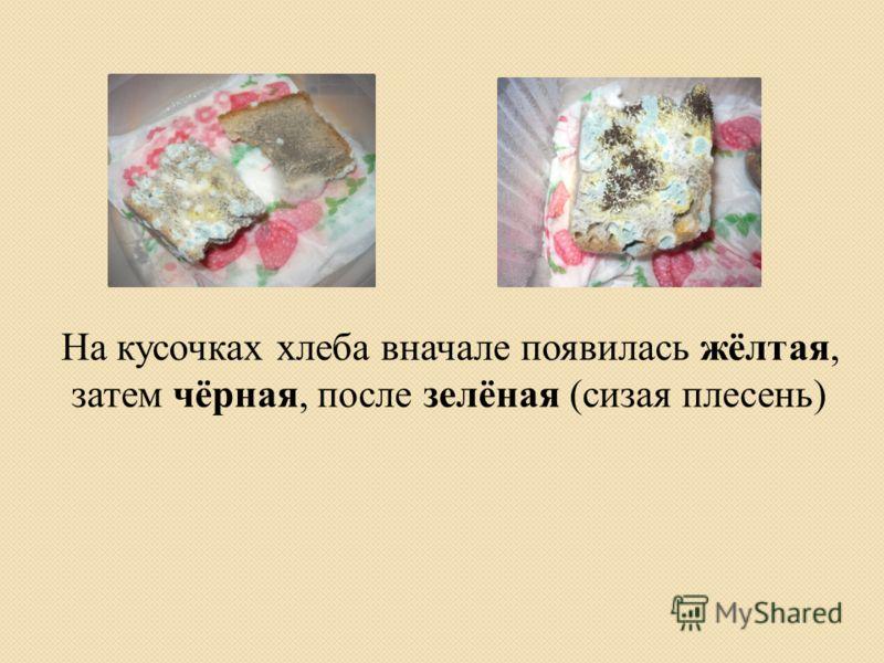 На кусочках хлеба вначале появилась жёлтая, затем чёрная, после зелёная (сизая плесень)