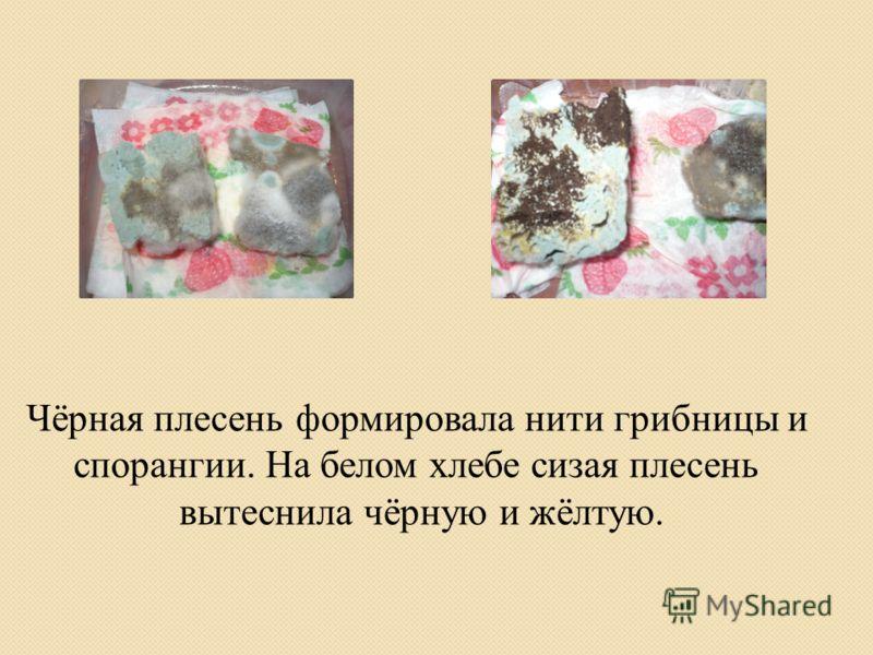 Чёрная плесень формировала нити грибницы и спорангии. На белом хлебе сизая плесень вытеснила чёрную и жёлтую.