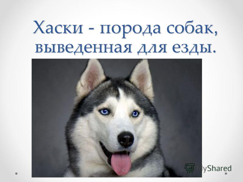 Хаски - порода собак, выведенная для езды.