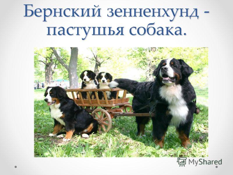 Бернский зенненхунд - пастушья собака.