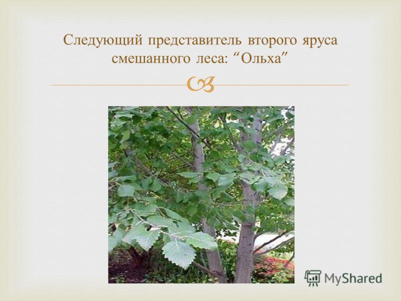 Следующий представитель второго яруса смешанного леса : Ольха