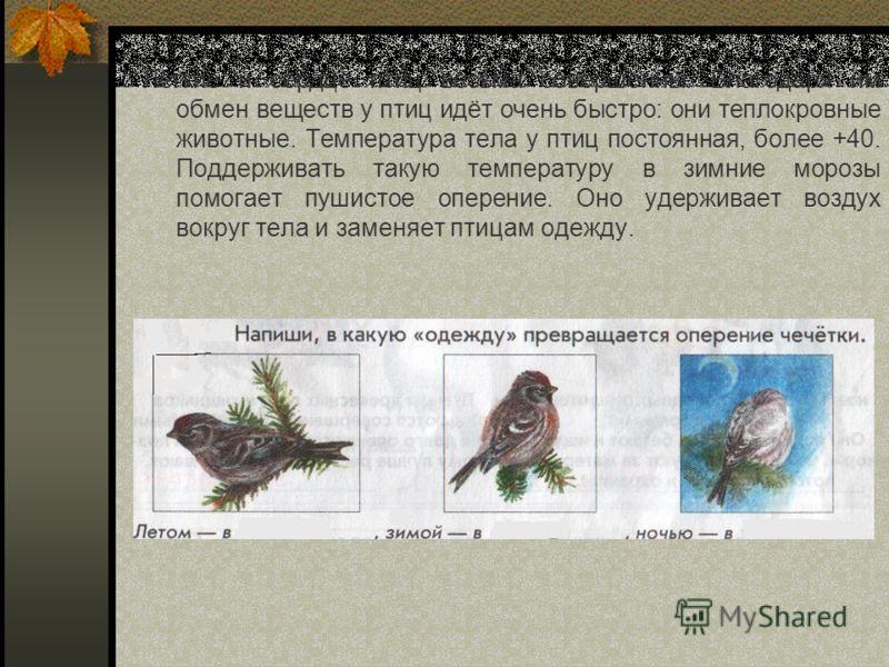 Лёгкие и сердце птиц весьма совершенны. Благодаря им обмен веществ у птиц идёт очень быстро: они теплокровные животные. Температура тела у птиц постоянная, более +40. Поддерживать такую температуру в зимние морозы помогает пушистое оперение. Оно удер
