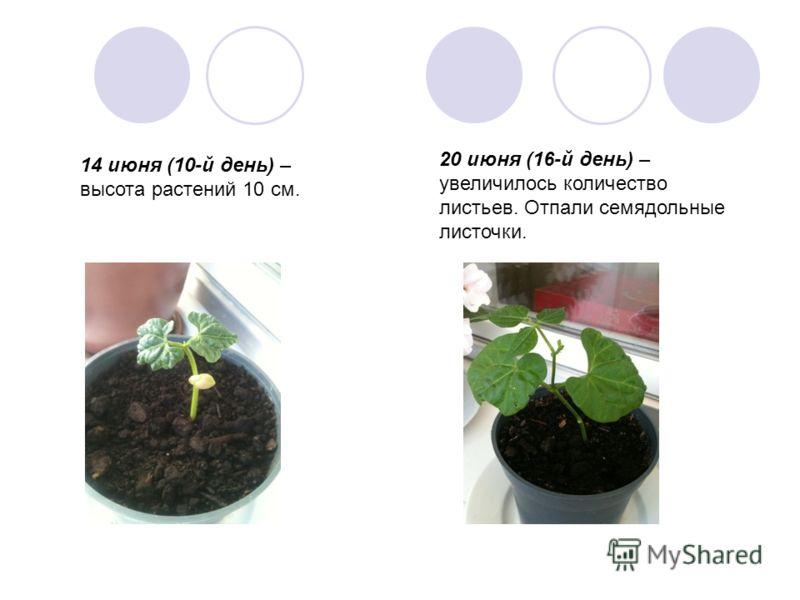 14 июня (10-й день) – высота растений 10 см. 20 июня (16-й день) – увеличилось количество листьев. Отпали семядольные листочки.