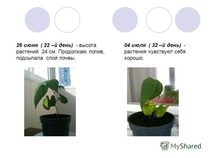 26 июня ( 22 –й день) - высота растений 24 см. Продолжаю полив, подсыпала слой почвы. 04 июля ( 32 –й день) - растения чувствуют себя хорошо.