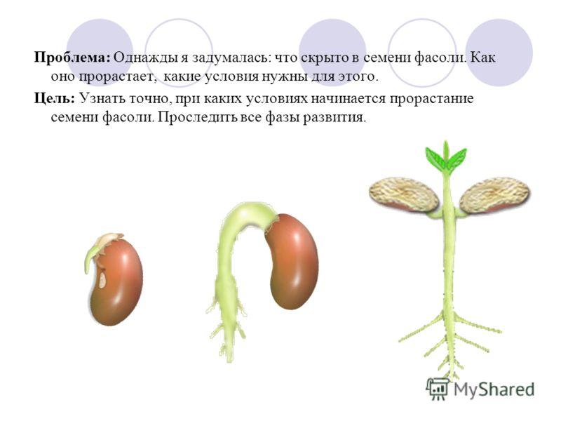 Проблема: Однажды я задумалась: что скрыто в семени фасоли. Как оно прорастает, какие условия нужны для этого. Цель: Узнать точно, при каких условиях начинается прорастание семени фасоли. Проследить все фазы развития.