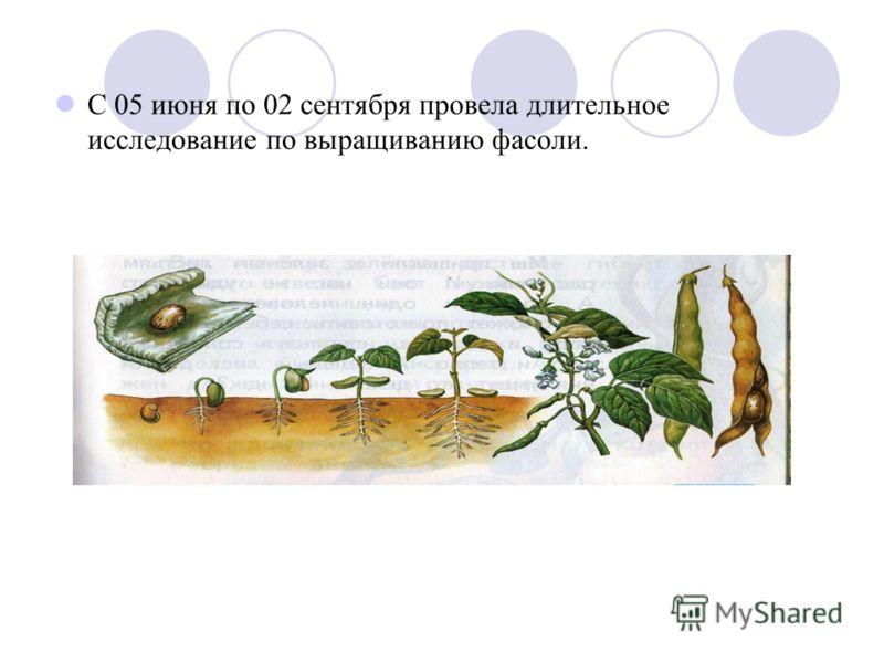 С 05 июня по 02 сентября провела длительное исследование по выращиванию фасоли.