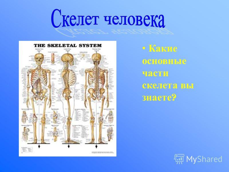 Какие основные части скелета вы знаете ?