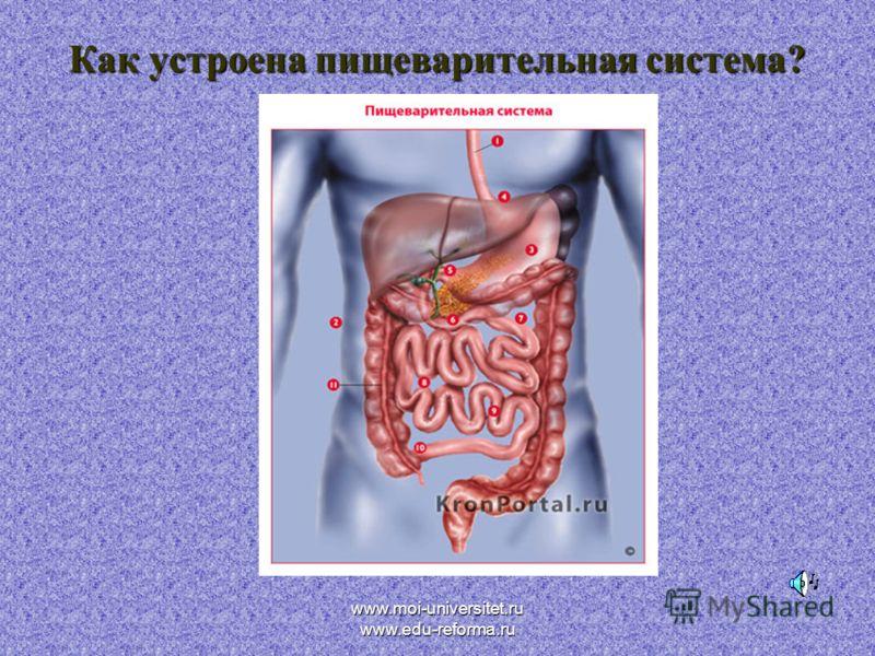 www.moi-universitet.ru www.edu-reforma.ru Как устроена пищеварительная система?
