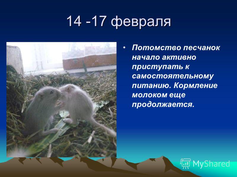 14 -17 февраля Потомство песчанок начало активно приступать к самостоятельному питанию. Кормление молоком еще продолжается.
