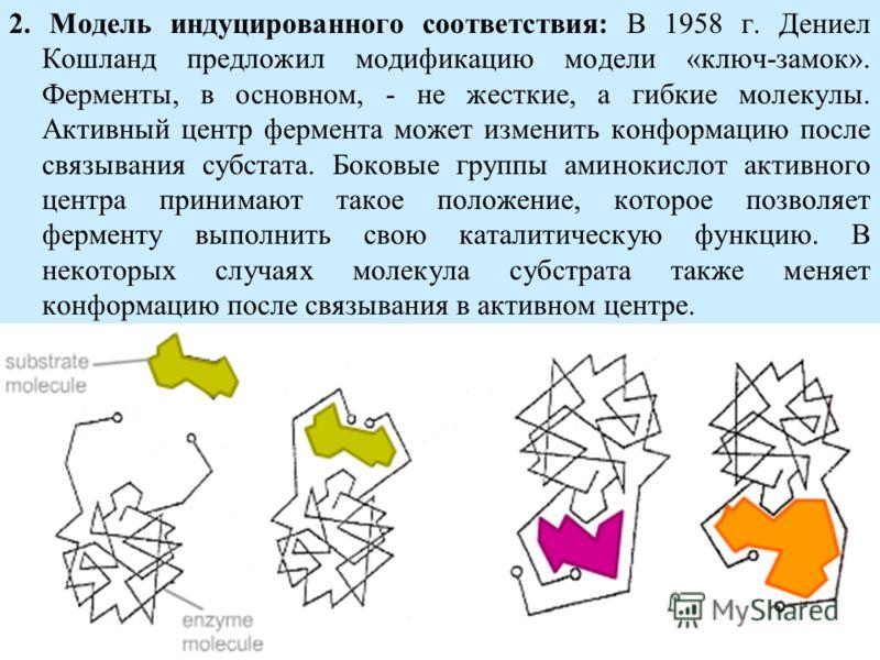 2. Модель индуцированного соответствия: В 1958 г. Дениел Кошланд предложил модификацию модели «ключ-замок». Ферменты, в основном, - не жесткие, а гибкие молекулы. Активный центр фермента может изменить конформацию после связывания субстата. Боковые г