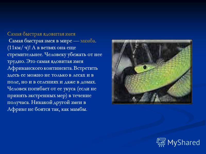 Самая быстрая ядовитая змея Самая быстрая змея в мире мамба. (11км/ ч)! А в ветвях она еще стремительнее. Человеку убежать от нее трудно. Это самая ядовитая змея Африканского континента. Встретить здесь ее можно не только в лесах и в поле, но и в сел