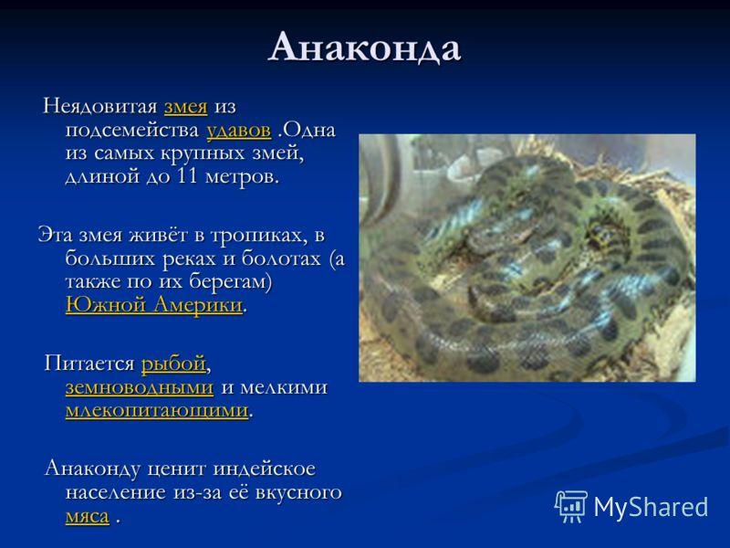 Анаконда Неядовитая змея из подсемейства удавов.Одна из самых крупных змей, длиной до 11 метров. Неядовитая змея из подсемейства удавов.Одна из самых крупных змей, длиной до 11 метров.змеяудавовзмеяудавов Эта змея живёт в тропиках, в больших реках и