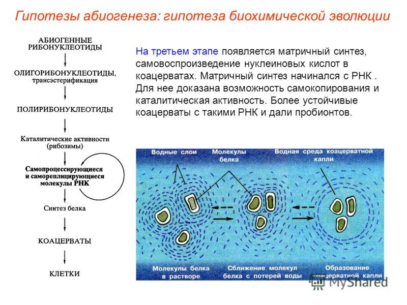 На третьем этапе появляется матричный синтез, самовоспроизведение нуклеиновых кислот в коацерватах. Матричный синтез начинался с РНК. Для нее доказана возможность самокопирования и каталитическая активность. Более устойчивые коацерваты с такими РНК и
