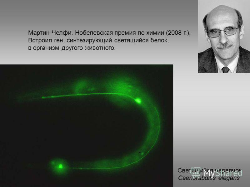 Мартин Челфи. Нобелевская премия по химии (2008 г.). Встроил ген, синтезирующий светящийся белок, в организм другого животного. Светящийся червячок Caenorabditis elegans