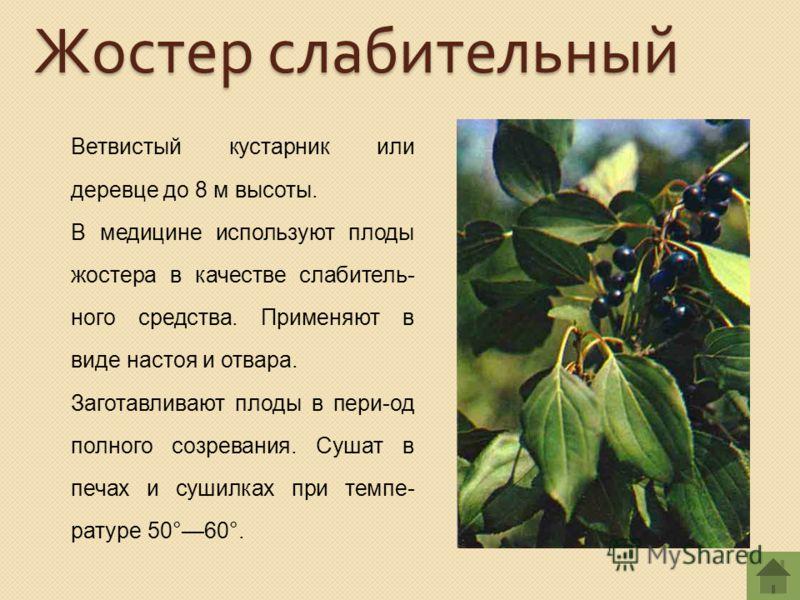 Ветвистый кустарник или деревце до 8 м высоты. В медицине используют плоды жостера в качестве слабитель- ного средства. Применяют в виде настоя и отвара. Заготавливают плоды в пери-од полного созревания. Сушат в печах и сушилках при темпе- ратуре 50°