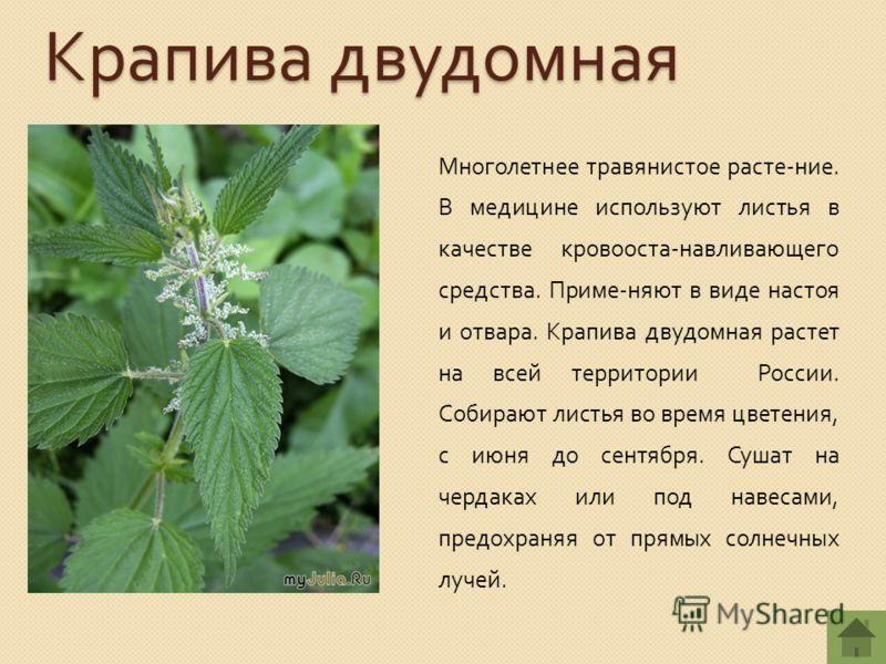 Крапива двудомная Многолетнее травянистое расте - ние. В медицине используют листья в качестве кровооста - навливающего средства. Приме - няют в виде настоя и отвара. Крапива двудомная растет на всей территории России. Собирают листья во время цветен