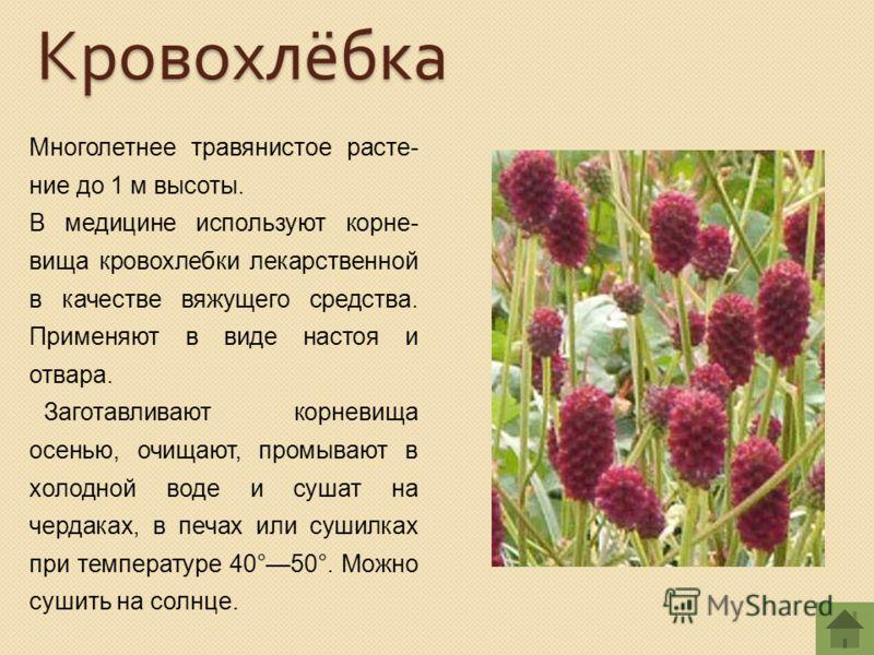 Многолетнее травянистое расте- ние до 1 м высоты. В медицине используют корне- вища кровохлебки лекарственной в качестве вяжущего средства. Применяют в виде настоя и отвара. Заготавливают корневища осенью, очищают, промывают в холодной воде и сушат н