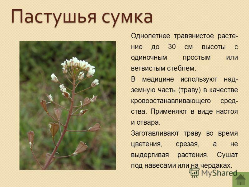 Однолетнее травянистое расте- ние до 30 см высоты с одиночным простым или ветвистым стеблем. В медицине используют над- земную часть (траву) в качестве кровоостанавливающего сред- ства. Применяют в виде настоя и отвара. Заготавливают траву во время ц