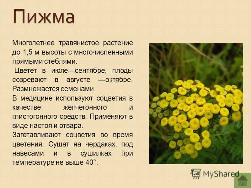 Многолетнее травянистое растение до 1,5 м высоты с многочисленными прямыми стеблями. Цветет в июлесентябре, плоды созревают в августе октябре. Размножается семенами. В медицине используют соцветия в качестве желчегонного и глистогонного средств. Прим