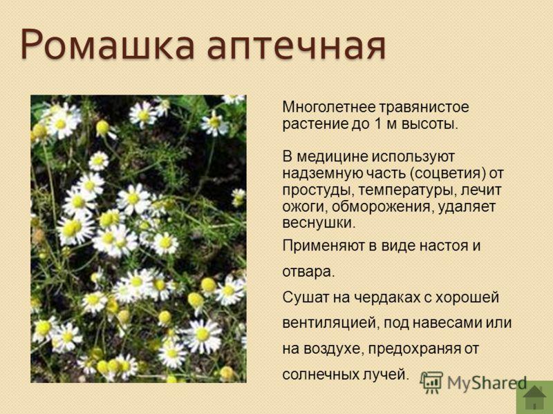 Многолетнее травянистое растение до 1 м высоты. В медицине используют надземную часть (соцветия) от простуды, температуры, лечит ожоги, обморожения, удаляет веснушки. Применяют в виде настоя и отвара. Сушат на чердаках с хорошей вентиляцией, под наве