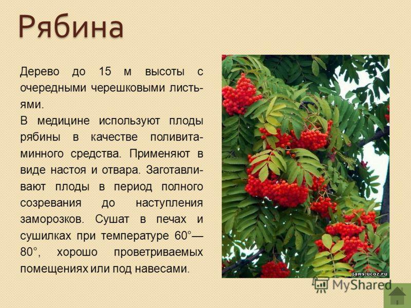 Дерево до 15 м высоты с очередными черешковыми листь- ями. В медицине используют плоды рябины в качестве поливита- минного средства. Применяют в виде настоя и отвара. Заготавли- вают плоды в период полного созревания до наступления заморозков. Сушат