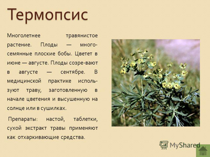 Термопсис Многолетнее травянистое растение. Плоды много - семянные плоские бобы. Цветет в июне августе. Плоды созре - вают в августе сентябре. В медицинской практике исполь - зуют траву, заготовленную в начале цветения и высушенную на солнце или в су