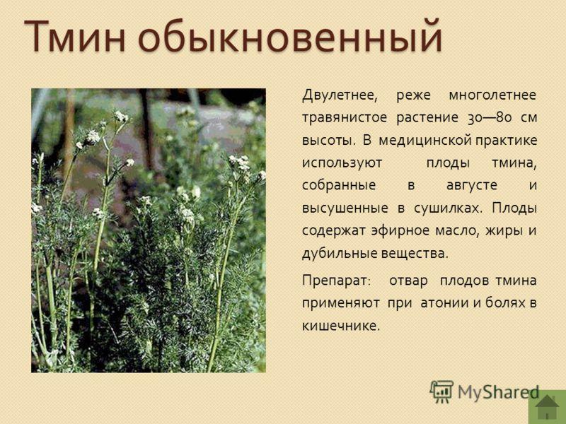 Тмин обыкновенный Двулетнее, реже многолетнее травянистое растение 3080 см высоты. В медицинской практике используют плоды тмина, собранные в августе и высушенные в сушилках. Плоды содержат эфирное масло, жиры и дубильные вещества. Препарат : отвар п