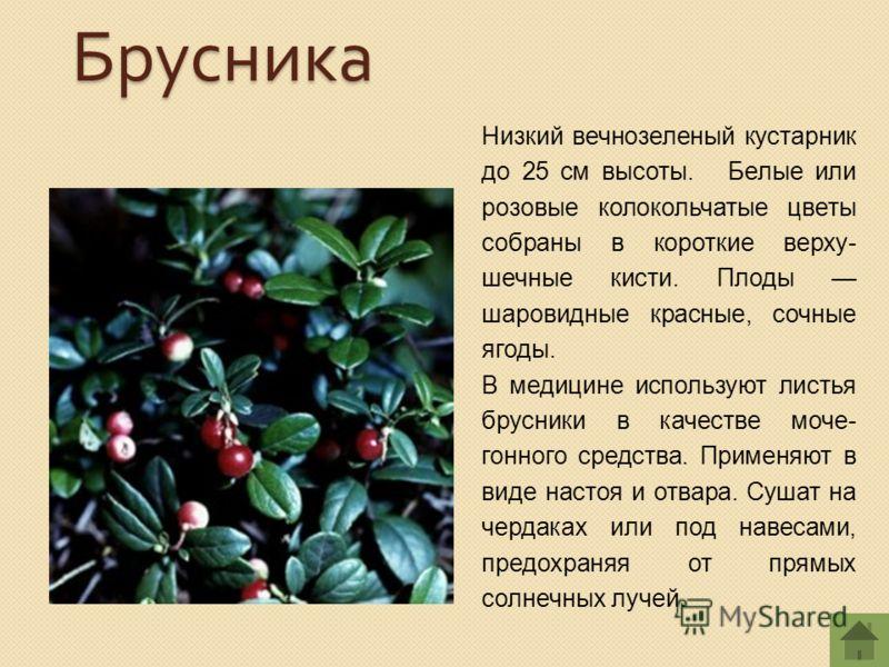 Низкий вечнозеленый кустарник до 25 см высоты. Белые или розовые колокольчатые цветы собраны в короткие верху- шечные кисти. Плоды шаровидные красные, сочные ягоды. В медицине используют листья брусники в качестве моче- гонного средства. Применяют в