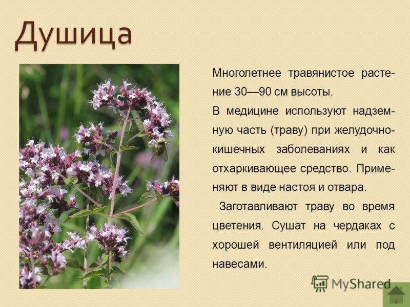 Многолетнее травянистое расте- ние 3090 см высоты. В медицине используют надзем- ную часть (траву) при желудочно- кишечных заболеваниях и как отхаркивающее средство. Приме- няют в виде настоя и отвара. Заготавливают траву во время цветения. Сушат на