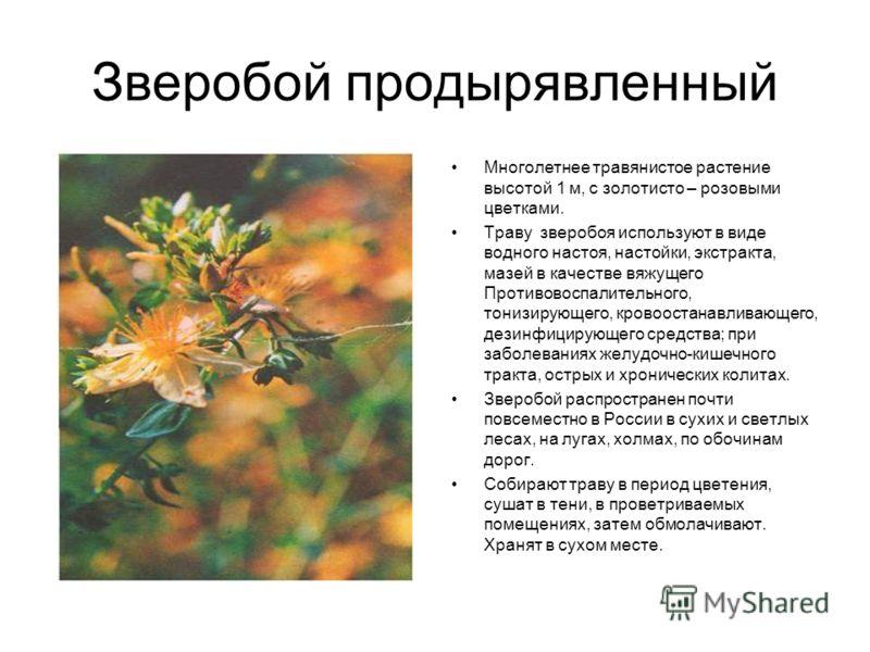 Зверобой продырявленный Многолетнее травянистое растение высотой 1 м, с золотисто – розовыми цветками. Траву зверобоя используют в виде водного настоя, настойки, экстракта, мазей в качестве вяжущего Противовоспалительного, тонизирующего, кровоостанав