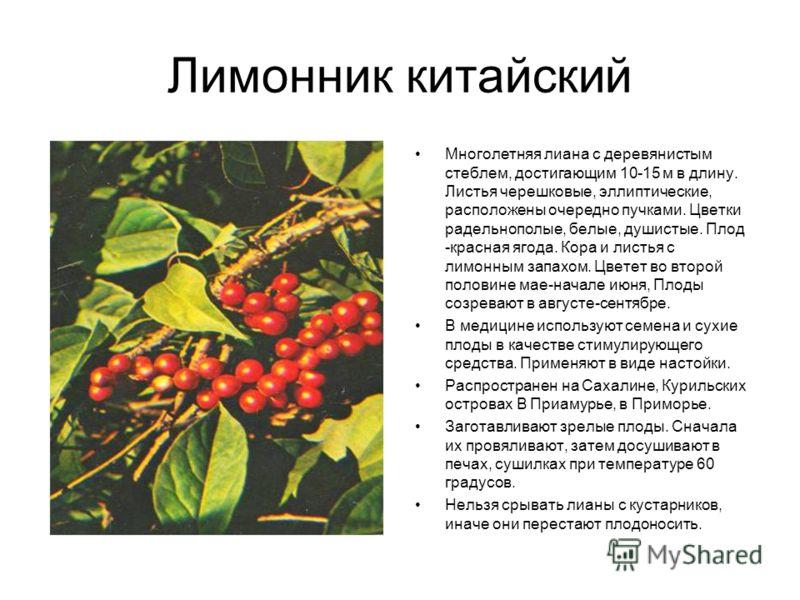 Лимонник китайский Многолетняя лиана с деревянистым стеблем, достигающим 10-15 м в длину. Листья черешковые, эллиптические, расположены очередно пучками. Цветки радельнополые, белые, душистые. Плод -красная ягода. Кора и листья с лимонным запахом. Цв