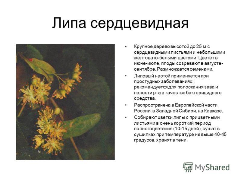 Липа сердцевидная Крупное дерево высотой до 25 м с сердцевидными листьями и небольшими желтовато-белыми цветами. Цветет в июне-июле, плоды созревают в августе- сентябре. Размножается семенами. Липовый настой применяется при простудных заболеваниях: р