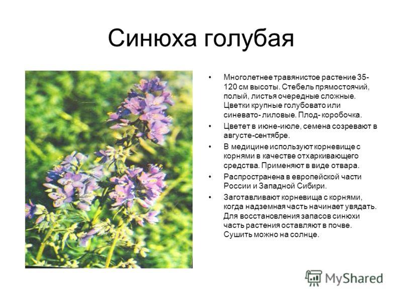 Синюха голубая Многолетнее травянистое растение 35- 120 см высоты. Стебель прямостоячий, полый, листья очередные сложные. Цветки крупные голубовато или синевато- лиловые. Плод- коробочка. Цветет в июне-июле, семена созревают в августе-сентябре. В мед