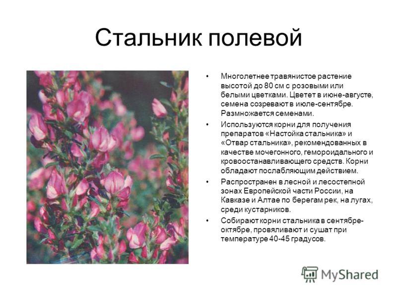 Стальник полевой Многолетнее травянистое растение высотой до 80 см с розовыми или белыми цветками. Цветет в июне-августе, семена созревают в июле-сентябре. Размножается семенами. Используются корни для получения препаратов «Настойка стальника» и «Отв
