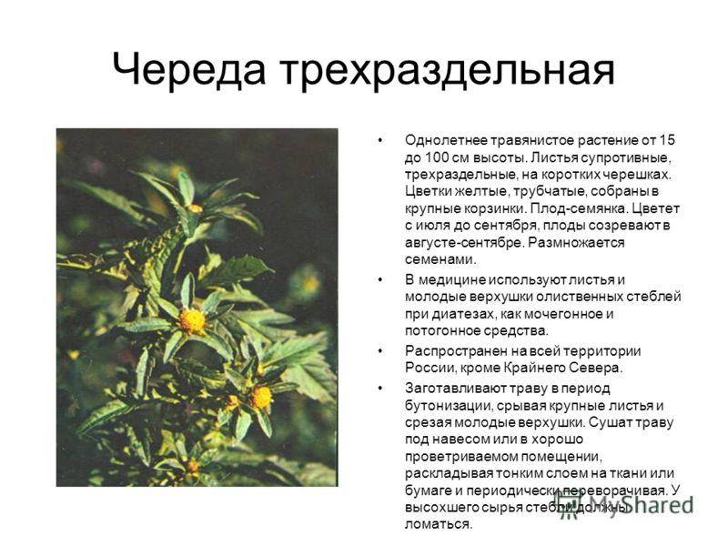 Череда трехраздельная Однолетнее травянистое растение от 15 до 100 см высоты. Листья супротивные, трехраздельные, на коротких черешках. Цветки желтые, трубчатые, собраны в крупные корзинки. Плод-семянка. Цветет с июля до сентября, плоды созревают в а