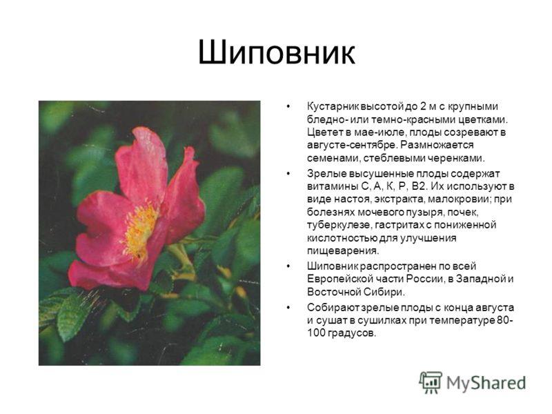 Шиповник Кустарник высотой до 2 м с крупными бледно- или темно-красными цветками. Цветет в мае-июле, плоды созревают в августе-сентябре. Размножается семенами, стеблевыми черенками. Зрелые высушенные плоды содержат витамины С, А, К, Р, В2. Их использ