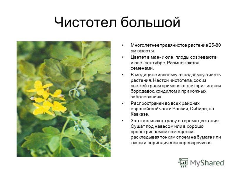 Чистотел большой Многолетнее травянистое растение 25-80 см высоты. Цветет в мае- июле, плоды созревают в июле- сентябре. Размножаются семенами. В медицине используют надземную часть растения. Настой чистотела, сок из свежей травы применяют для прижиг