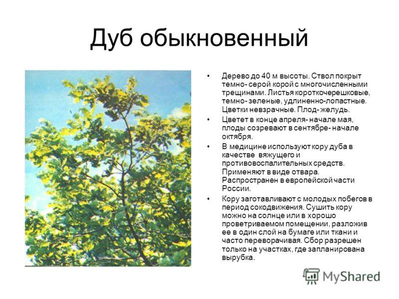 Дуб обыкновенный Дерево до 40 м высоты. Ствол покрыт темно- серой корой с многочисленными трещинами. Листья короткочерешковые, темно- зеленые, удлиненно-лопастные. Цветки невзрачные. Плод- желудь. Цветет в конце апреля- начале мая, плоды созревают в
