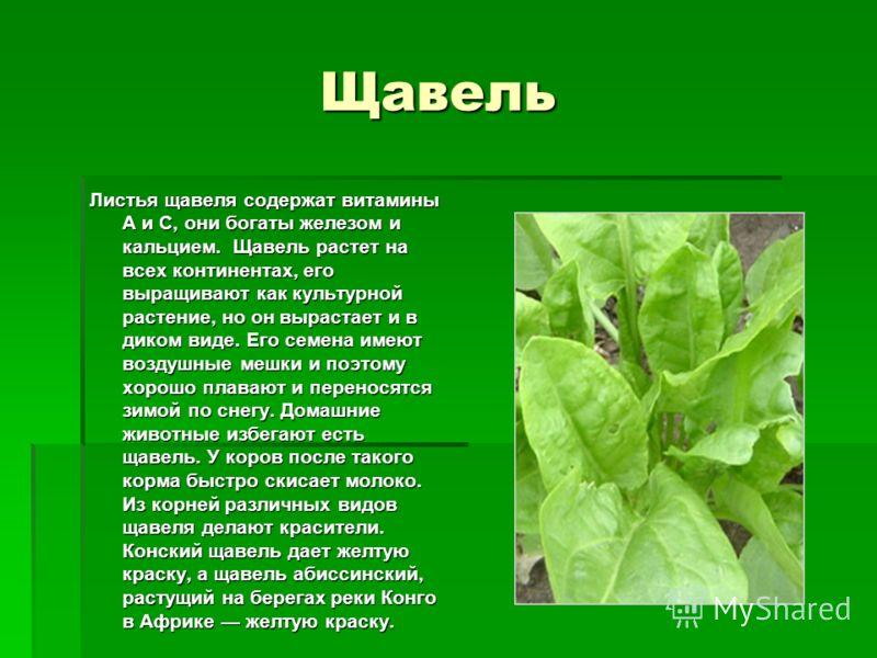 Щавель Щавель Листья щавеля содержат витамины А и С, они богаты железом и кальцием. Щавель растет на всех континентах, его выращивают как культурной растение, но он вырастает и в диком виде. Его семена имеют воздушные мешки и поэтому хорошо плавают и