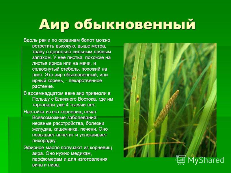 Аир обыкновенный Вдоль рек и по окраинам болот можно встретить высокую, выше метра, траву с довольно сильным пряным запахом. У неё листья, похожие на листья ириса или на мечи, и сплюснутый стебель, похожий на лист. Это аир обыкновенный, или ирный кор