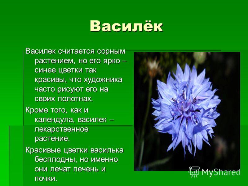 Василёк Василек считается сорным растением, но его ярко – синее цветки так красивы, что художника часто рисуют его на своих полотнах. Кроме того, как и календула, василек – лекарственное растение. Красивые цветки василька бесплодны, но именно они леч