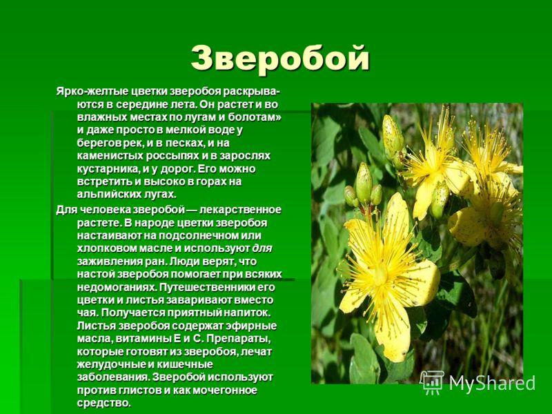 Зверобой Ярко-желтые цветки зверобоя раскрыва ются в середине лета. Он растет и во влажных местах по лугам и болотам» и даже просто в мелкой воде у берегов рек, и в песках, и на каменистых россыпях и в зарослях кустарника, и у дорог. Его можно встр