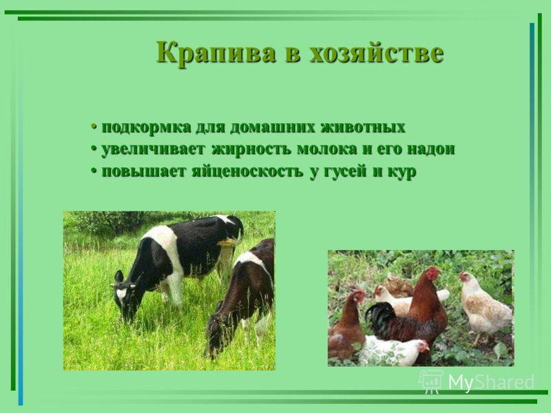 Крапива в хозяйстве подкормка для домашних животных подкормка для домашних животных увеличивает жирность молока и его надои увеличивает жирность молока и его надои повышает яйценоскость у гусей и кур повышает яйценоскость у гусей и кур