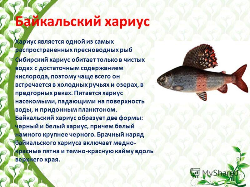 Байкальский хариус. Хариус является одной из самых распространенных пресноводных рыб Сибирский хариус обитает только в чистых водах с достаточным содержанием кислорода, поэтому чаще всего он встречается в холодных ручьях и озерах, в предгорных реках.