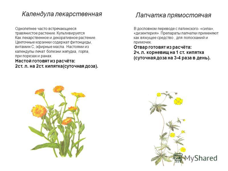 Календула лекарственная Однолетнее часто встречающееся травянистое растение. Культивируется Как лекарственное и декоративное растение. Цветочные корзинки содержат фитонциды, витамин С, эфирные масла. Настоями из календулы лечат болезни желудка, горла