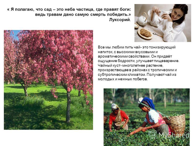 « Я полагаю, что сад – это неба частица, где правят боги: ведь травам дано самую смерть победить.» Луксорий. Все мы любим пить чай- это тонизирующий напиток, с высокими вкусовыми и ароматическими свойствами. Он придаёт ощущение бодрости, улучшает пищ