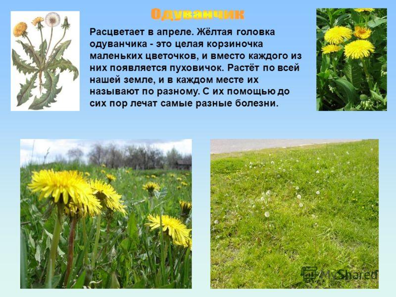 Расцветает в апреле. Жёлтая головка одуванчика - это целая корзиночка маленьких цветочков, и вместо каждого из них появляется пуховичок. Растёт по всей нашей земле, и в каждом месте их называют по разному. С их помощью до сих пор лечат самые разные б